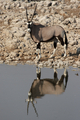 Gemsbok (Oryx gazella) - PhotoDune Item for Sale