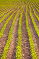 Rows of soy plants in a field - PhotoDune Item for Sale