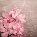 Pink oleander flowers close up on wooden background - PhotoDune Item for Sale