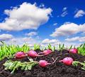 harvested radishes - PhotoDune Item for Sale