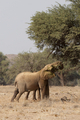 Desert Elephants in Namibia - PhotoDune Item for Sale