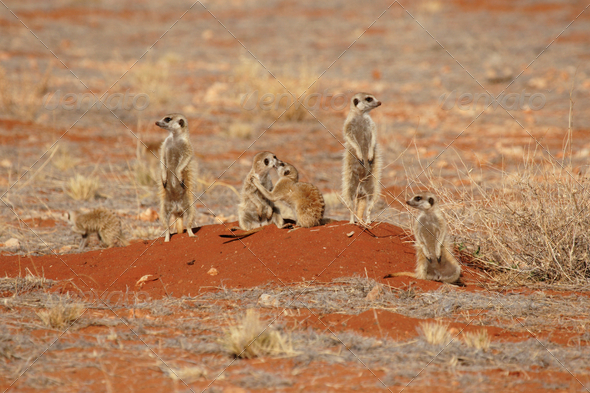 Meerkats - Stock Photo - Images
