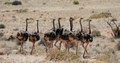 Ostriches - PhotoDune Item for Sale
