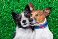 dogs in love - PhotoDune Item for Sale