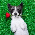 valentines dog - PhotoDune Item for Sale