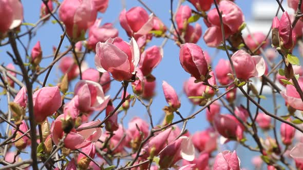 VideoHive Magnolia Flowers Blossom 18710117