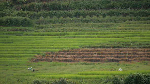 VideoHive Rice Fields 18717963