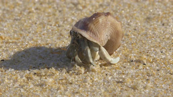 VideoHive Hermit Crab 18665096