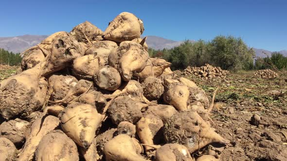 Download Sugar Beet Pile At The Field After Harvest nulled download