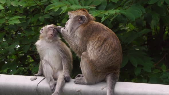 Download Monkeys nulled download