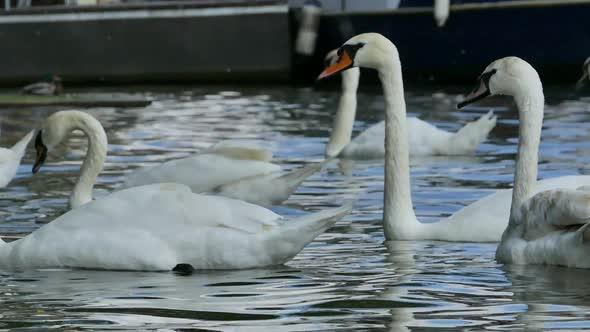 Prague City - White Swans - 03 - Nature Arkistofilmit