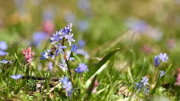 Download Flowers Scilla Bifolia nulled download