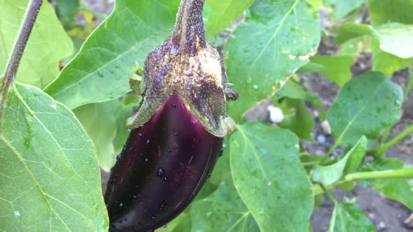 Download Eggplant Greenhouse nulled download