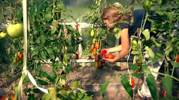 Farmer Girl Picking Organic Tomatoes In Greenhouse