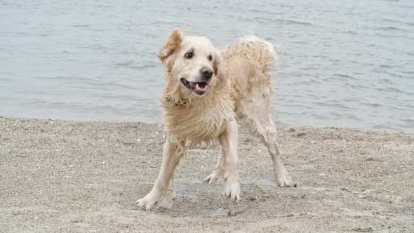 Download Hilarious Golden Retriever Shaking Off Water nulled download